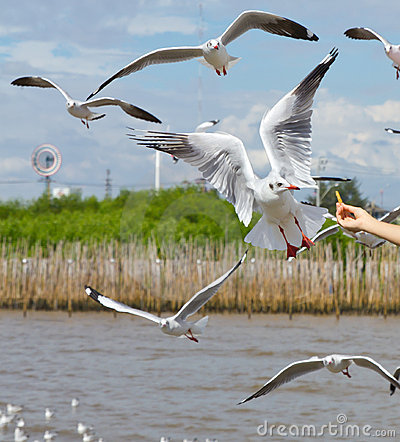 Free Seagull Flying To Take A Food In Blue Sky Stock Photo - 17551360
