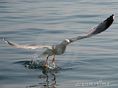 Seagull flying up 3#