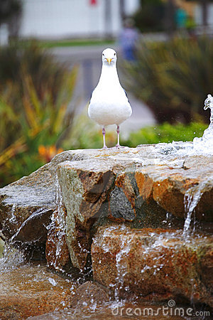 Seagull by the fountain.