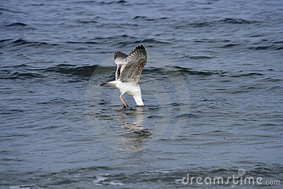 Seagull with head in sea