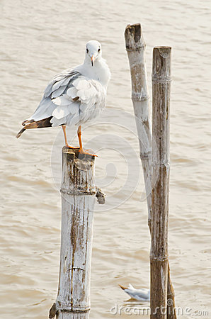 Seagull hold on bamboo