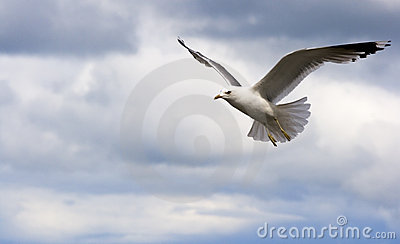 Seagull hovering in the sky