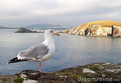 Seagull on the irish coast