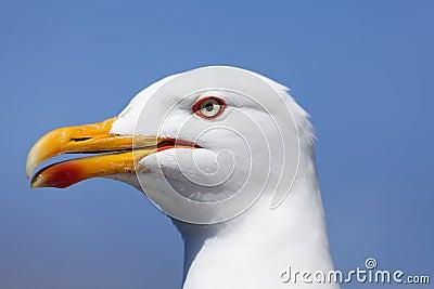 Seagull in La Coruña