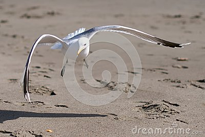 Seagull landing on a sandy beach