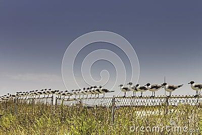 Seagull Line