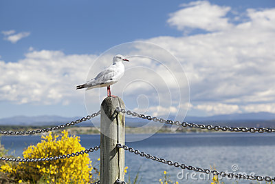 Seagull looking over Lake Taupo