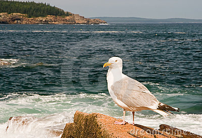 Seagull on Maine coast