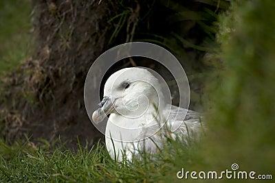 Seagull on Mykines, Faroe Islands