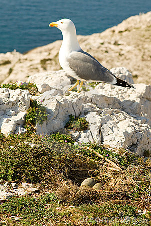 Seagull near its nest with three eggs
