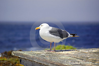 Seagull by ocean