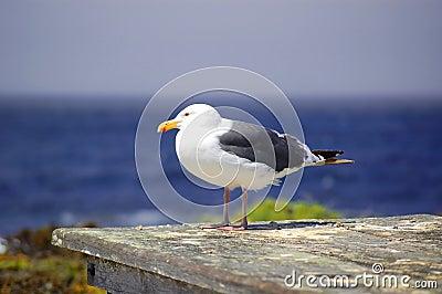 Seagull by ocean