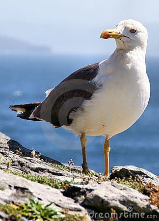 Free Seagull On Cliff Edge Royalty Free Stock Image - 18407236