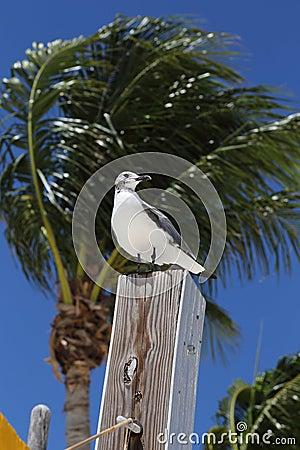 Free Seagull On Perch, Marathon, Florida Stock Image - 77359591
