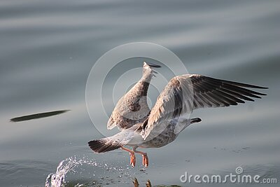 Seagull Over Water Free Public Domain Cc0 Image