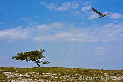 Seagull and pine tree
