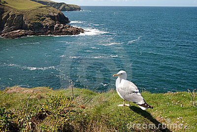 Seagull in Port Isaac