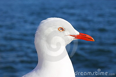 Silver gull portrait against water