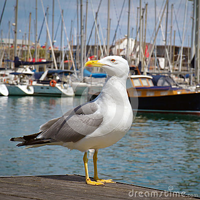 Free Seagull Portrait Royalty Free Stock Photos - 25489408