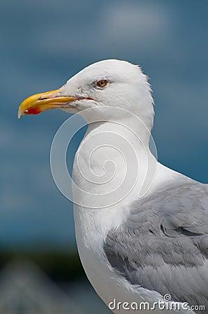 Free Seagull Portrait Stock Image - 7604781