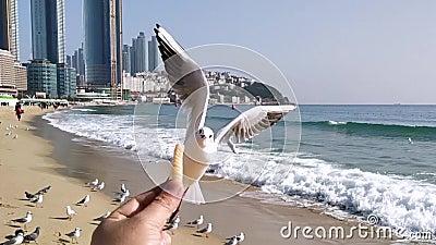 Seagull próbuje jeść Saeukkang przekąskę zbiory wideo