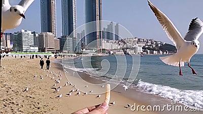 Seagull próbuje jeść Saeukkang przekąskę zbiory
