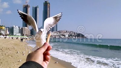 Seagull próbuje jeść Saeukkang przekąskę zdjęcie wideo