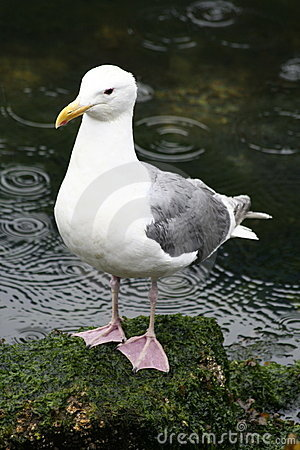 Seagull in the Rain
