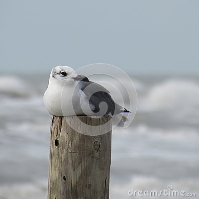 Free Seagull Resting Royalty Free Stock Image - 56274456