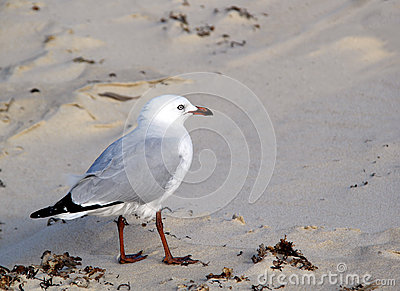 Seagull on sand