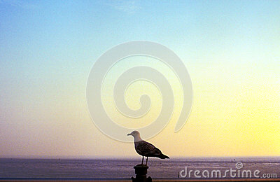 Seagull at sea