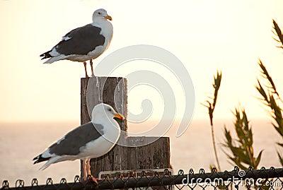Seagull sentinels