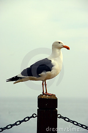 Free Seagull Sentry Stock Photography - 919842