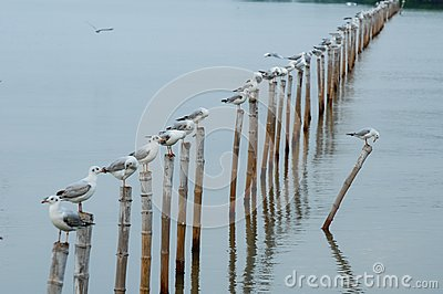 Seagull sit on bamboo