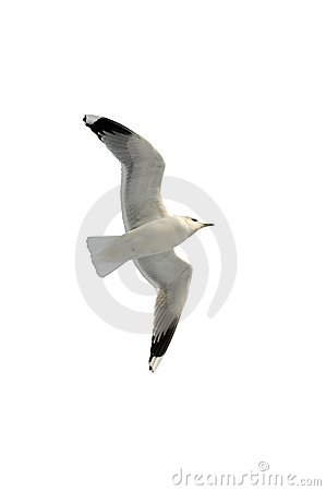 Free Seagull Soaring Royalty Free Stock Photography - 637697