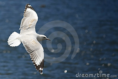Seagull soaring over the ocean