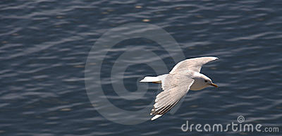 Seagull Soaring Over Water
