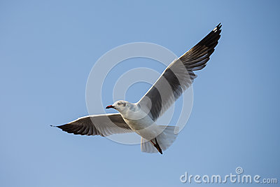 A seagull, soaring in the sky