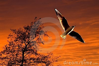 Seagull soaring during sunset