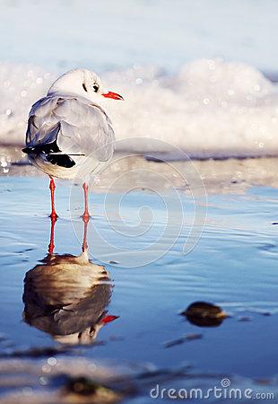 Free Seagull Staying In The Water And His Reflexion Stock Photos - 34342863