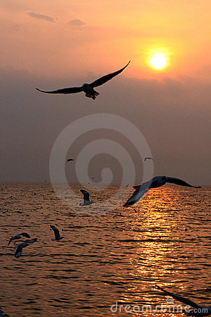 Seagull in sunset