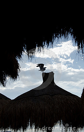 Seagull takes off a palapa tip