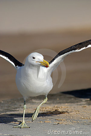 Seagull trying to fly