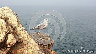 Seagull Vogel steht Füße auf der Klippe im Atlantischen Ozean stock video
