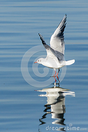 Seagull on water reflection