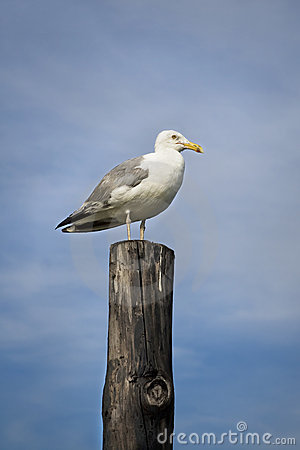 Seagull on wooden pillar
