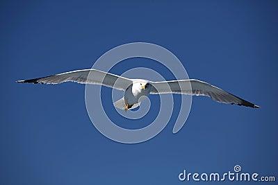 Seagull4