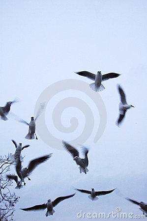 Free Seagulls Royalty Free Stock Images - 455439