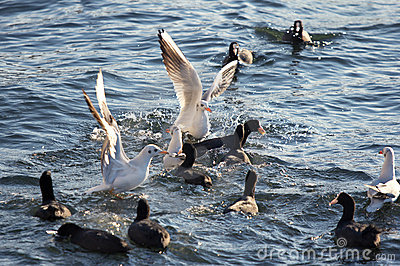 Seagulls attack flock of pochards