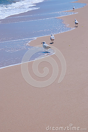 Seagulls Enjoying Gentle Waves at Beach